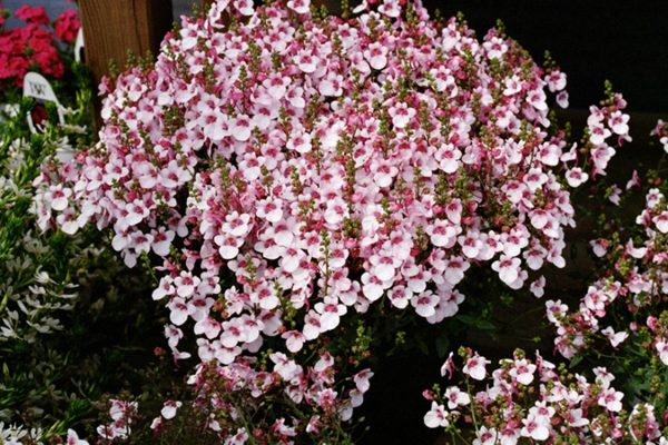 Diascia barberae Flying Colors®