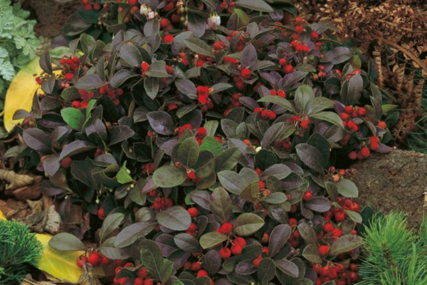 Gaultheria procumbens Winter Pearls®