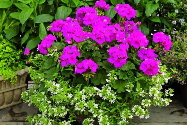 Pelargonium interspecific Calliope®