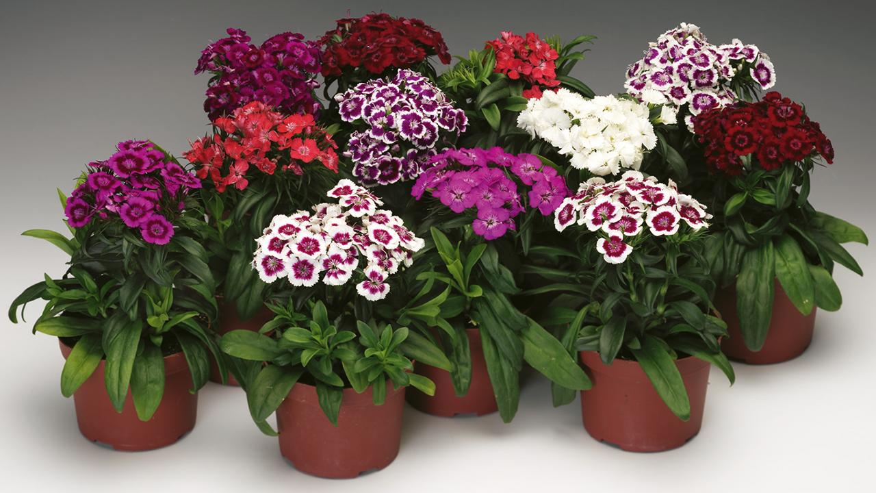 florigrow producten dianthus
