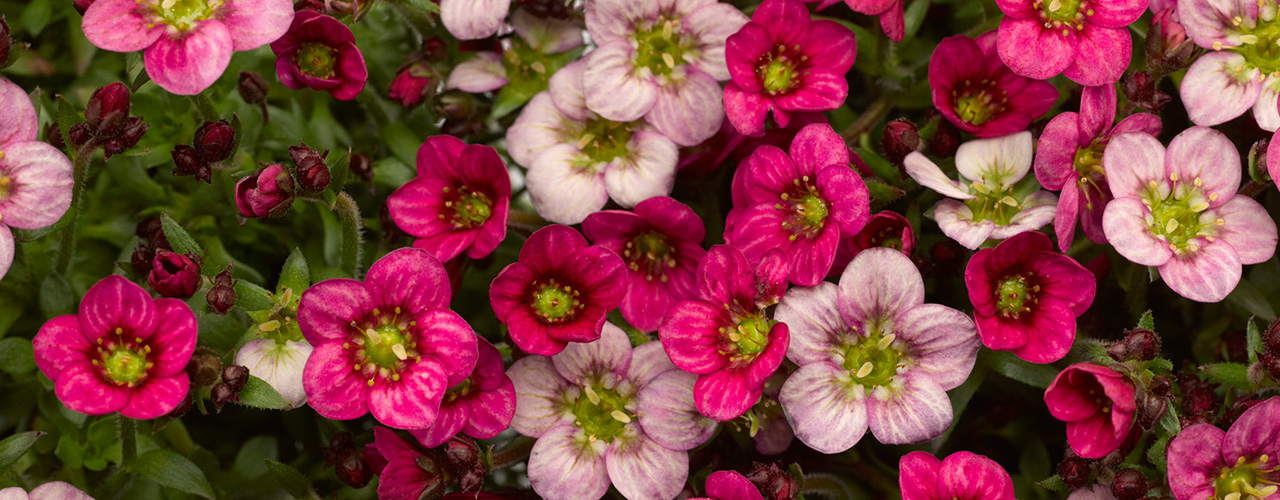 Florgrow producten saxifraga